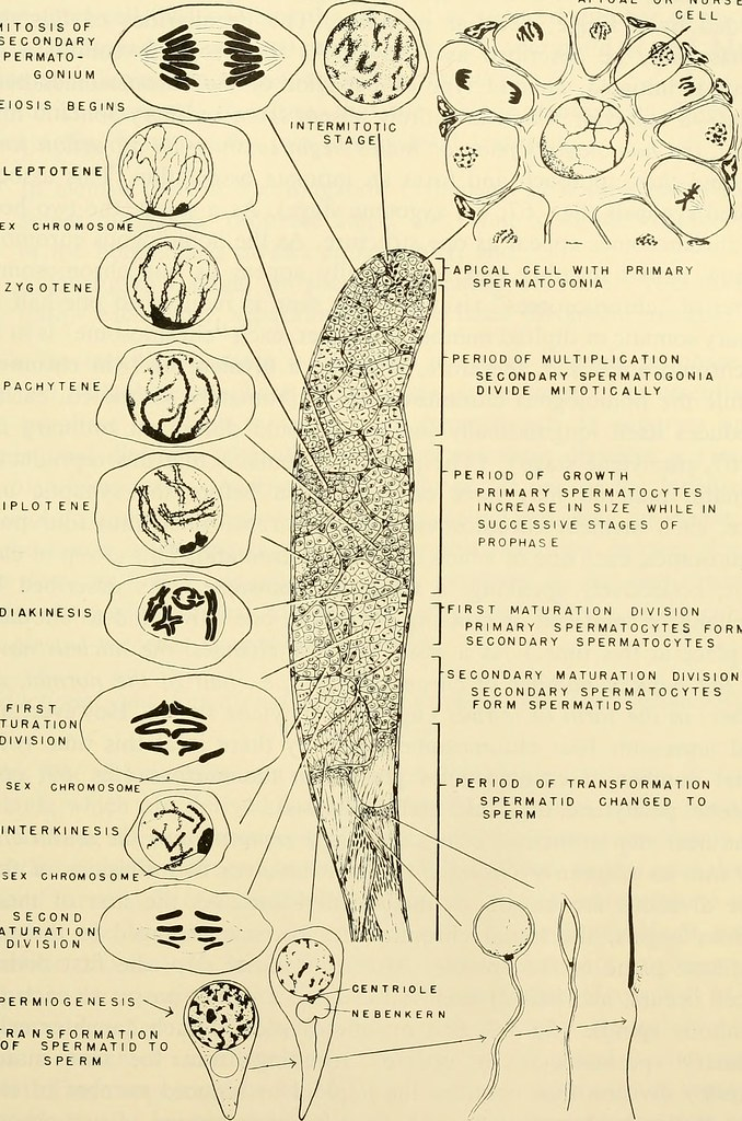 Multiplication Chart: Image from page 156 of Comparative embryology of the vertu2026 | Flickr,Chart