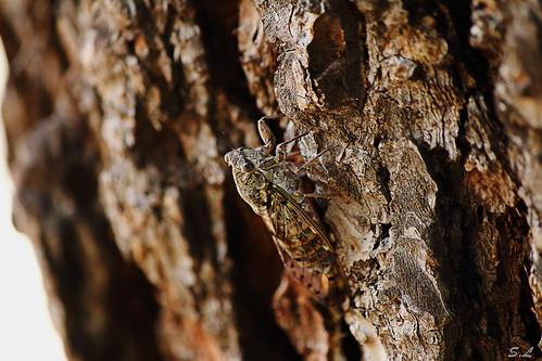Cigale sur un tronc d'arbre