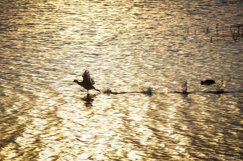 Despegue de una focha en la laguna de Cal Tet