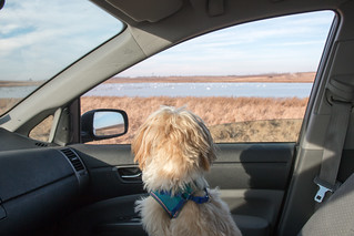 Pip was transixed by the Tundra Swans! | by Laura Erickson