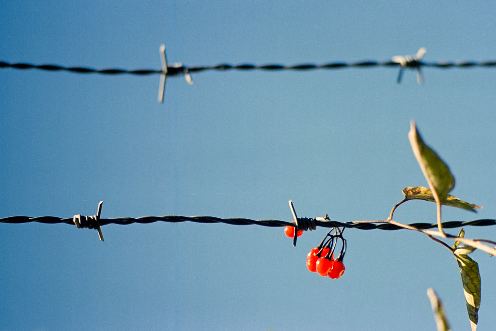 Barb Wire Berries | Olympus OM2 Tamron 135mm f2.5 Kodak Ekta… | Flickr