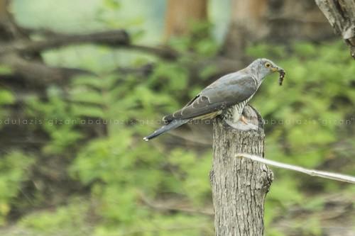 predator alami untuk pengendali hama (sedang makan ulat bulu)