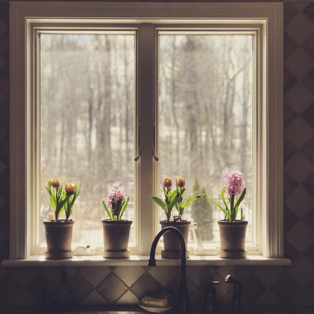 .some potted spring bulbs blooming in the kitchen window,,,, craving the warmer weather and new beginnings
