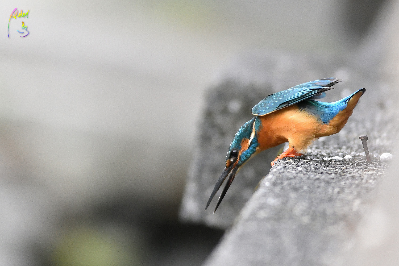 Common_Kingfisher_0841