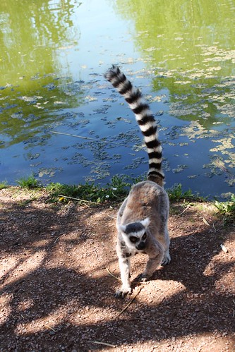 One ring tailed lemur