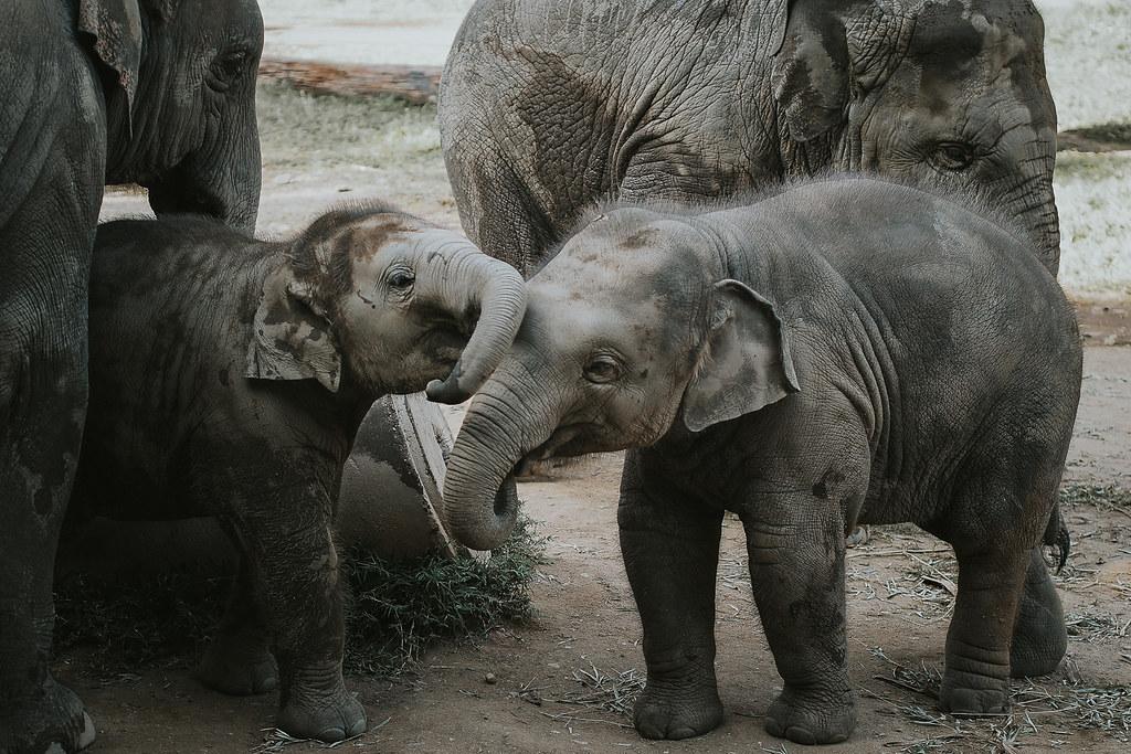 Norsut ja Thaimaa | Kaksi elefanttivauvaa.