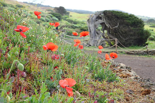 More poppies and Sabine tree, Sabinosa circuit, El Hierro
