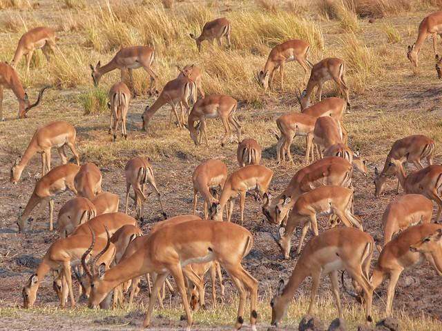Impalas en Botswana