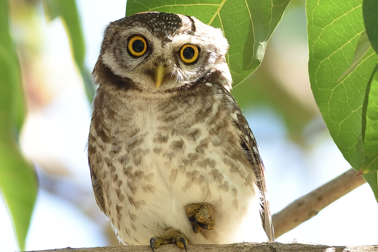 Spotted_Owlet_9175_O