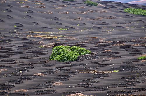 Vineyard in Geria,Lanzarote, Canary Islands