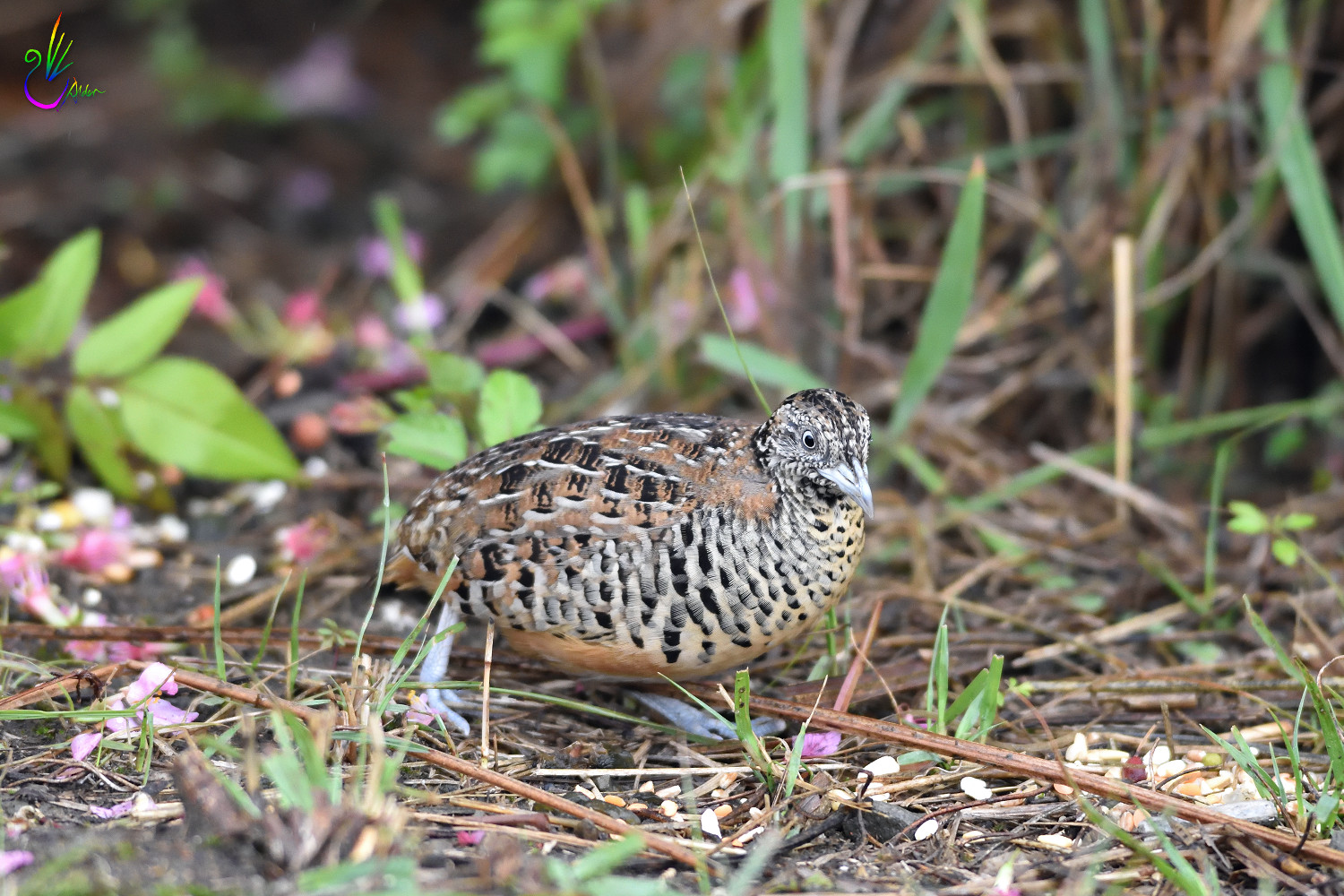 Barred_Buttonquail_7215