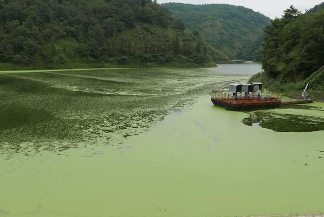 隨著風吹送,沒底坑水庫覆蓋一層綠膜,但這在雲南還算「輕微」!