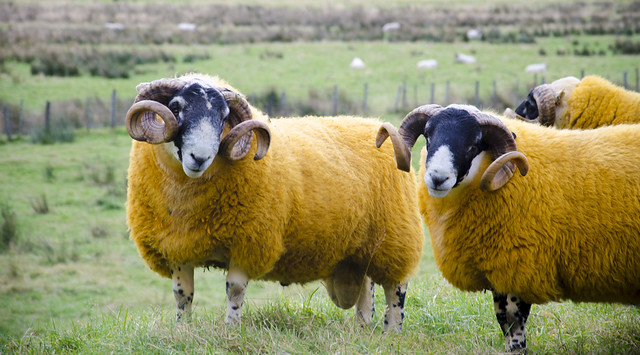 Yella sheep