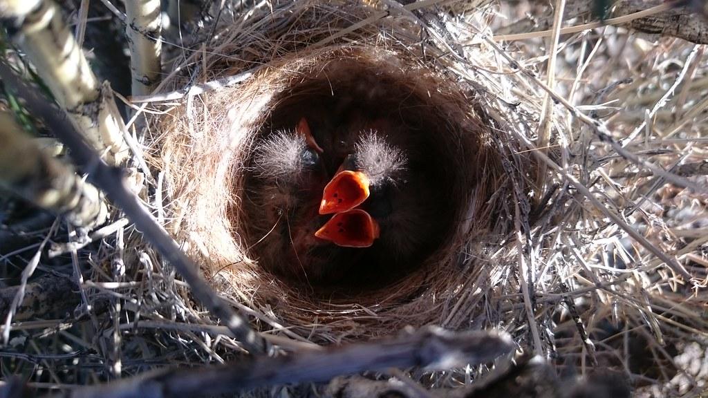Kozlov's accentor's nestlings