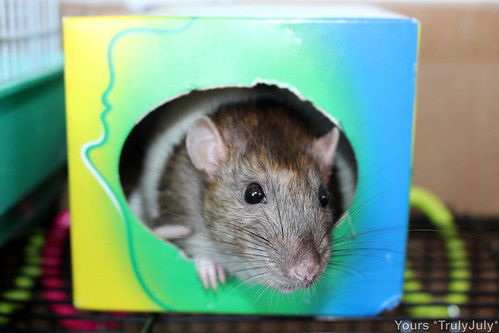 Every rattie loves to snuggle up in a tissue box, it's like the perfect rat size!