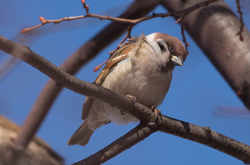 Eurasian Tree Sparrow | by Laura Erickson