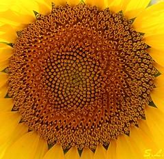 Corazon de Girasol - Sunflower's Heart