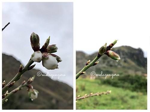 Mandorli in fiore (per la prima volta)