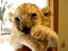 Cute Baby lion | by floridapfe