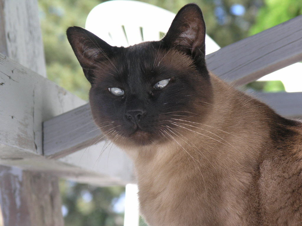 Spike, the Cross-Eyed Cat | I guess many siamese cats are ...