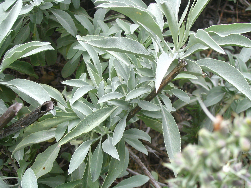 White Sage Salvia Apiana In The Matilija Wilderness Los Flickr