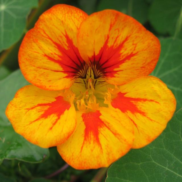 Nasturtium Flower A Firey Flower Of A Nasturtium