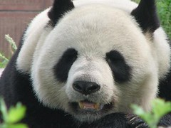 panda.close-up | by Henry's Travel