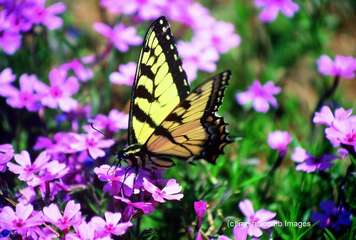 Yellow Swallowtail | by mrkholcomb Images