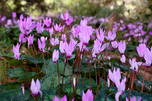 Cyclamen persicum | by TLV and more