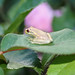 Little frog on Roses