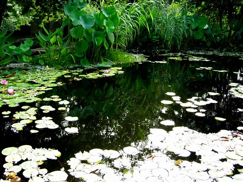 koi pond and lily pads | by looking_for_a_cause