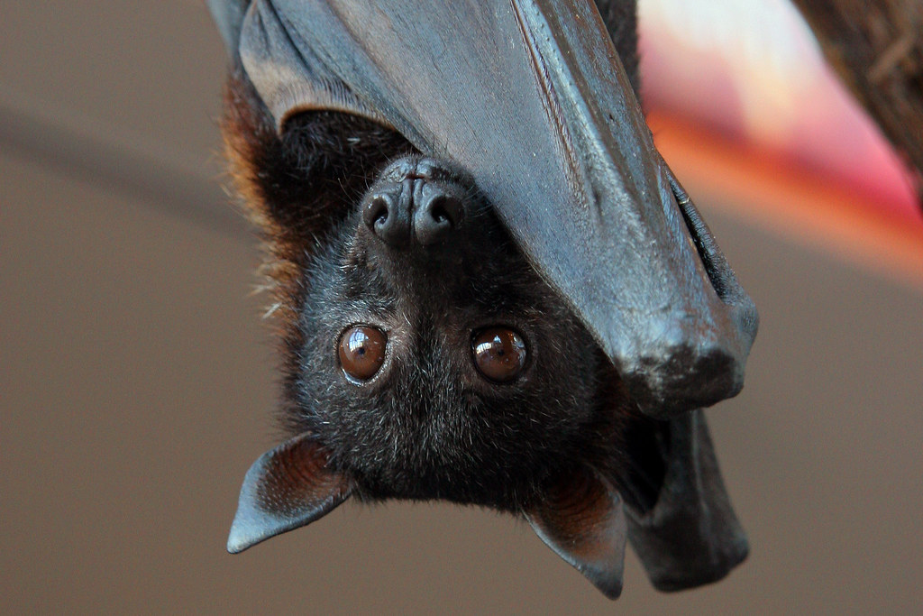 Malayan Flying Fox (closeup) | Malayan Flying Fox ...