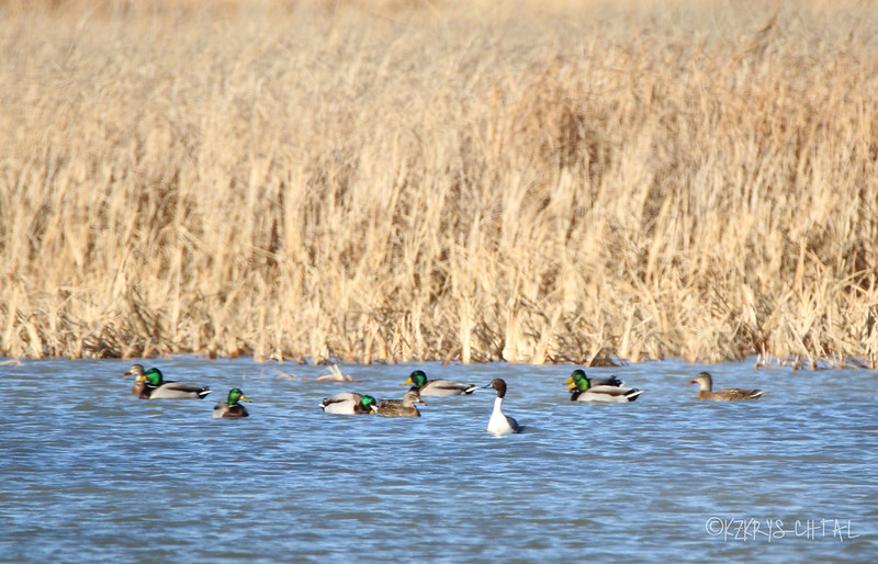 IMG_1292NorthernPintailAndMallards
