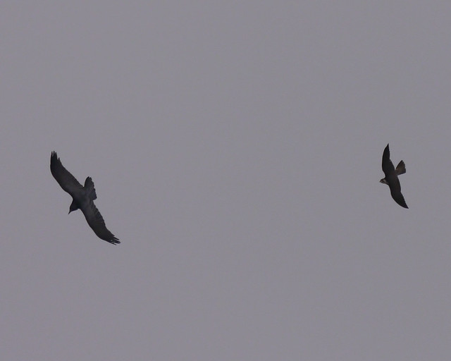 Common Raven and Peregrine Falcon - 2