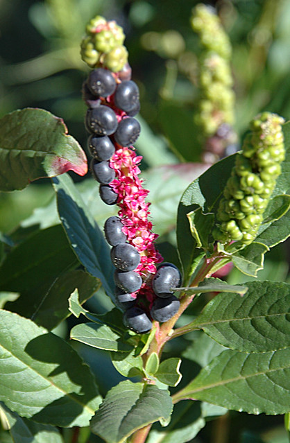 'Poison Berry' plant