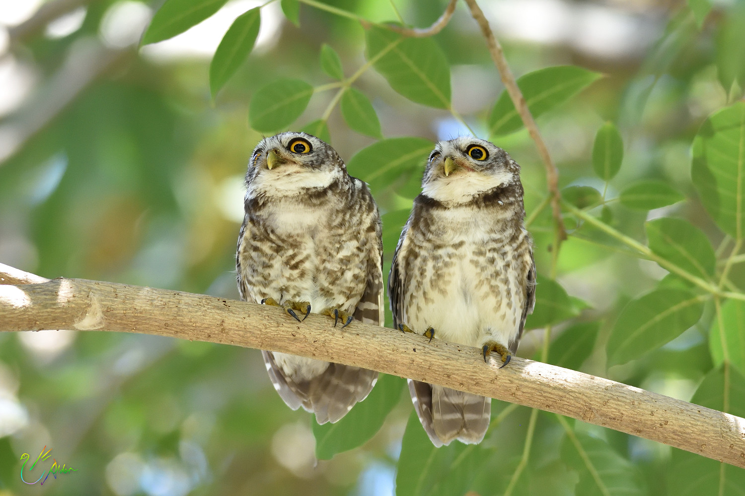 Spotted_Owlet_9372