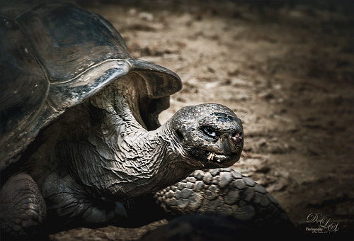 Image of a Giant Tortoise at the St. Augustine Alligator Farm