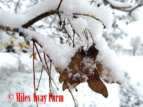 Snow Maple Seeds