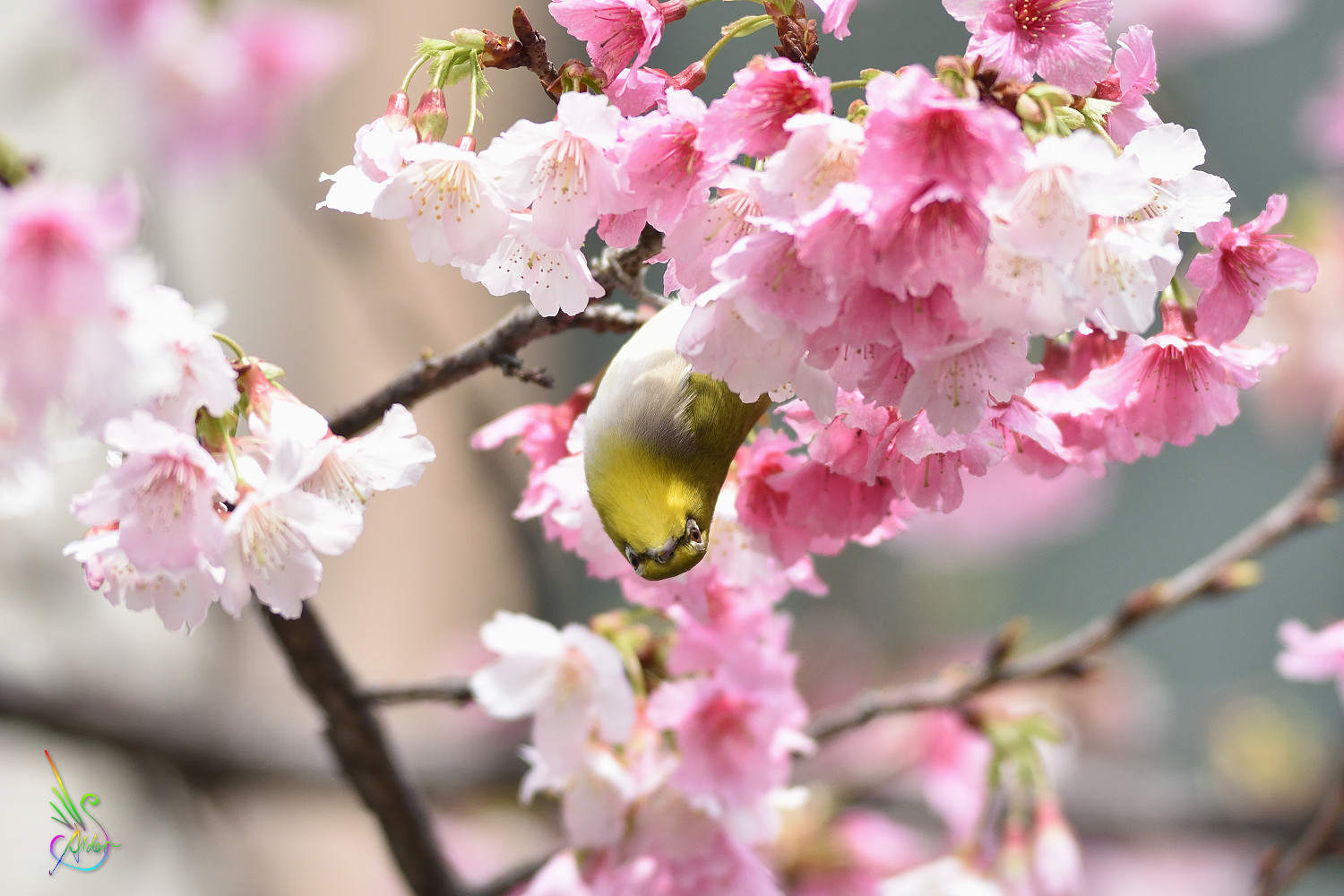 Sakura_White-eye_9824