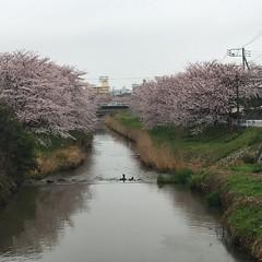 4月9日の桜 矢那川橋より