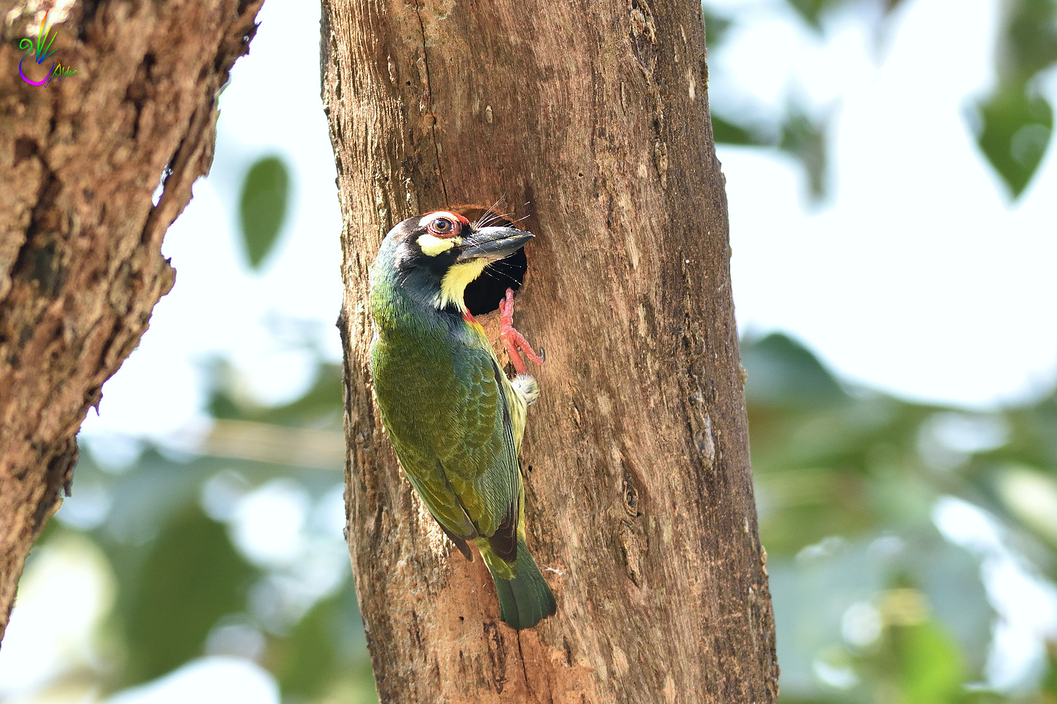 Coppersmith_Barbet_6169