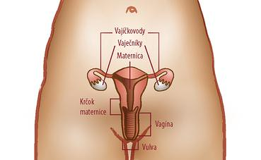 pohlavné orgány