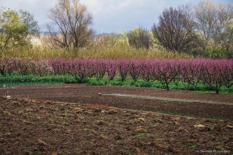 Melocotoneros en flor a orillas del Ebro