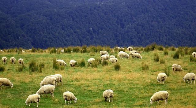 New Zealand紐西蘭南島………………紐西蘭的子民