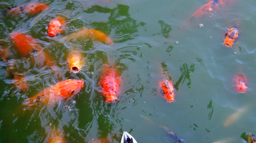 koi fish at japanese friendship garden phoenix acm83