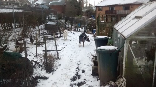 snow on allotment Jan 17 (1)