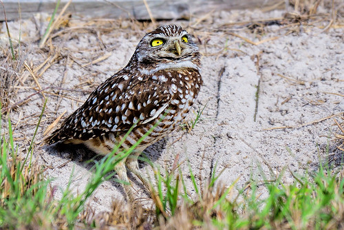Cape Coral: Burrowing Owl Smiling