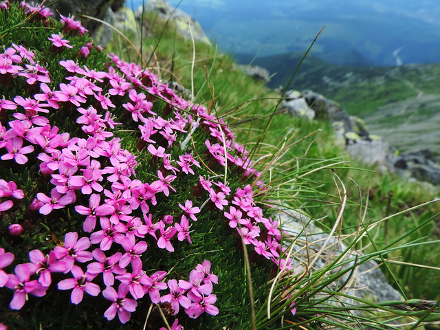 Wildflower Bloom: High Tatras, Slovakia
