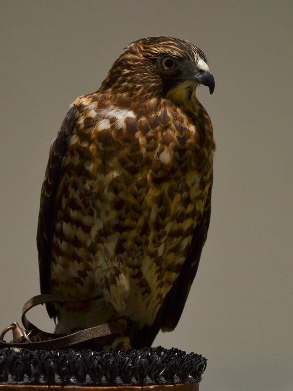 OWL - Broadwing Hawk