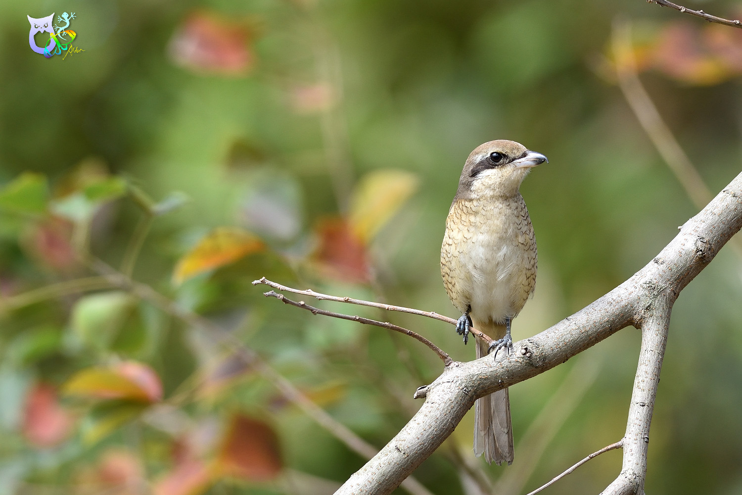 Brown_Shrike_9681